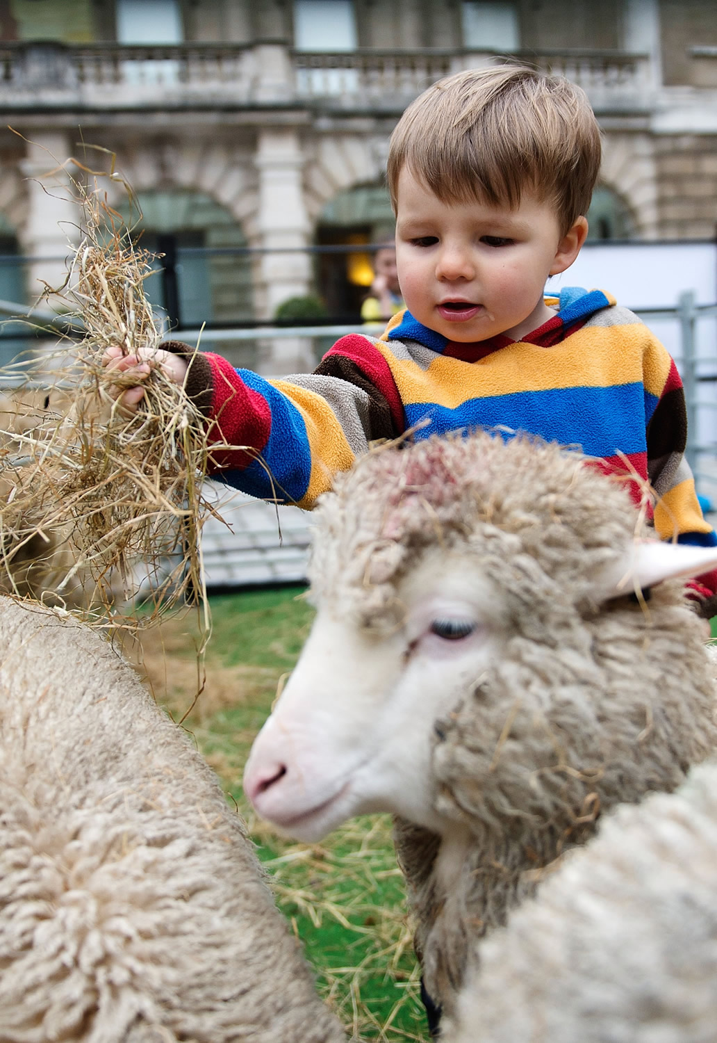 Wool Week Comes To A Close With Bowmont Merino Sheep Taking Over The Courtyard Of The Royal Academy