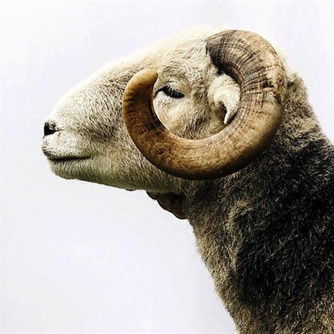Large-woolsympesheep
