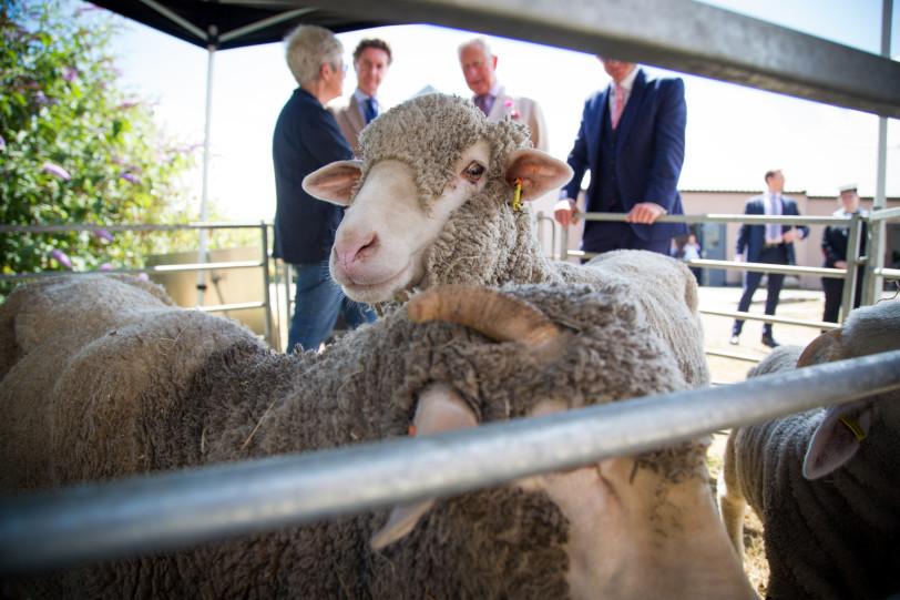 Finisterre 15 OPSD HRH Visit - Bowmont merino sheep v1